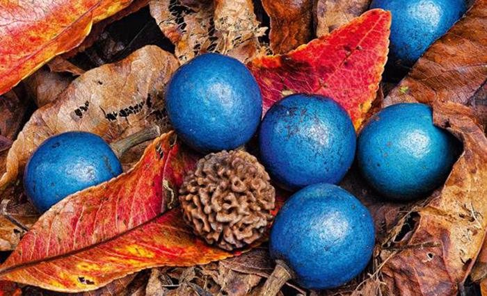 ElaeocarpusgrandisOrBlueFigOrQuantung_1449152673